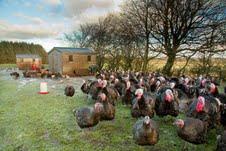 Free Range Turkeys at St Brides on the outskirts of Strathaven in Lanarkshire