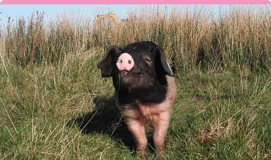 A happy and contented pig at Lochbyre